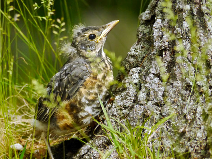 fledgling grackle - photo #32